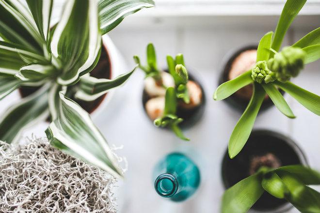 fertiliser plantes avec marc de café