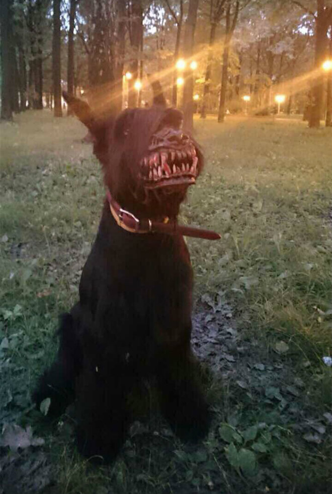 chien portant museliere loup garou