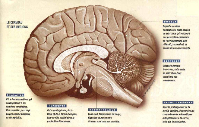 regions cerveau