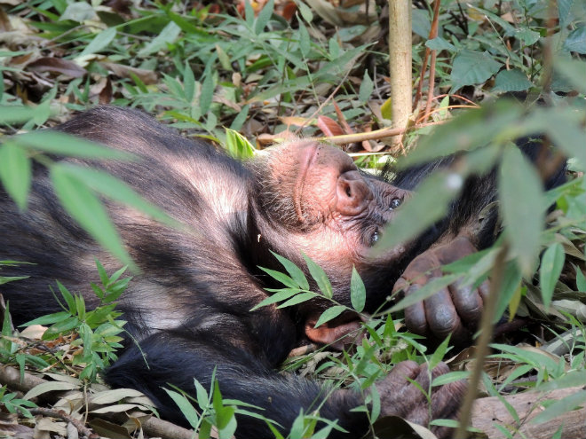 chimpanze deforestation huile palme