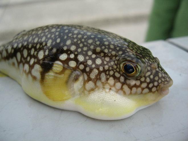 poisson-fugu