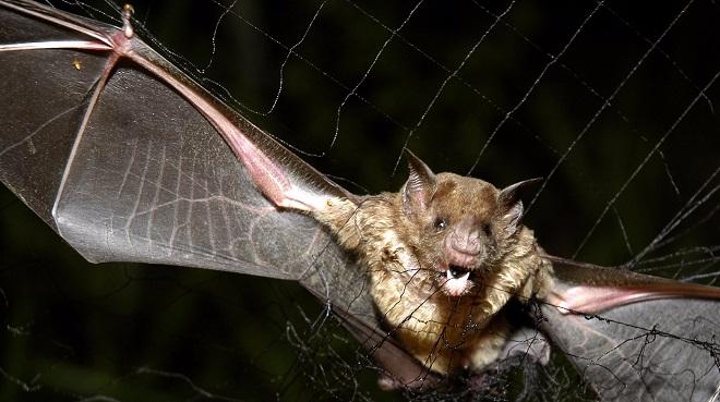Des chauves-souris ont commencé à sucer du sang humain — Brésil