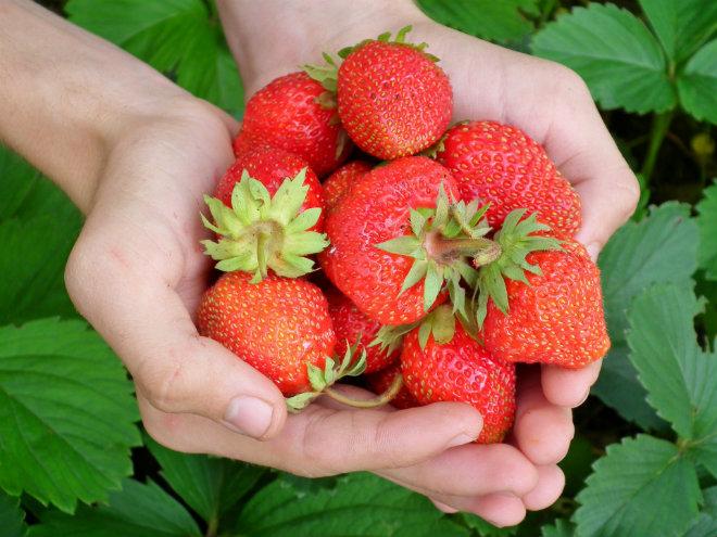 fraises bienfaits