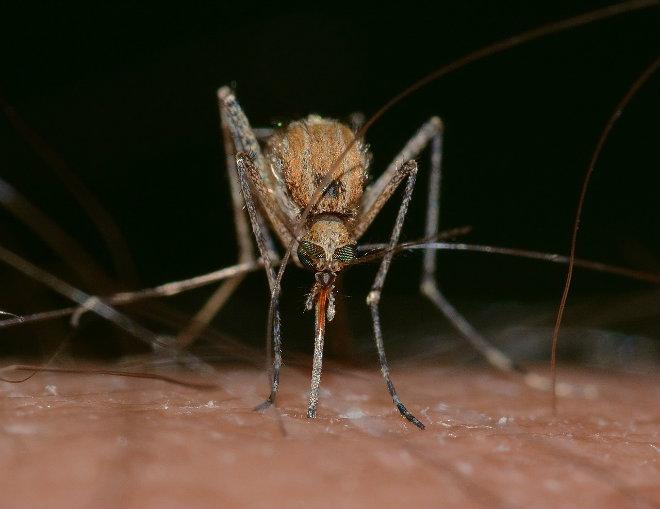 moustique piqure