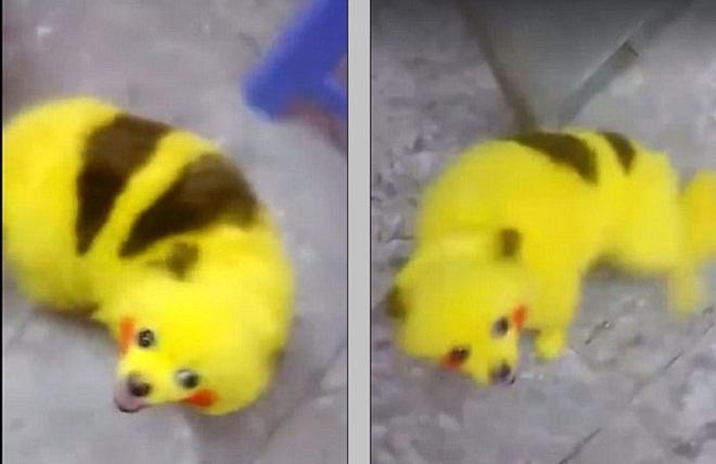 Chien Peint acte de cruauté ? un fan de pokémon go peint son chien aux couleurs